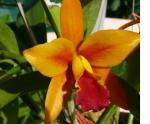Dendrobium Hybriden 939-85