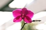 Phalaenopsis Hybriden Flower10