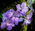 Krankheiten & Schädlinge Orchid11
