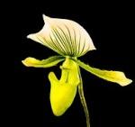 Cattleya/Laelien Naturformen Orchid12