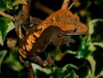 Photos de vos rhacodactylus ciliatus 39-8