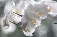 rchidee orchidee
