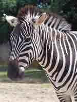 zebrazebra