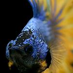 Blue Mistigri