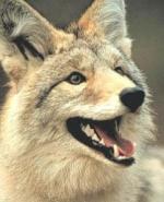 coyote yeah!!!