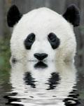 pandabeurk