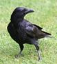 le corbeau masqué