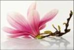 Magnolia Stardust
