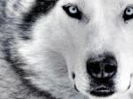 volk_kotenok