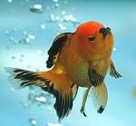 Goldfish85