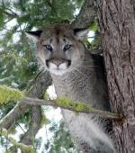 cougar gris