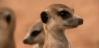 Meerkats Meerka11
