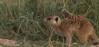 Meerkats Meerka12