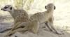 Meerkats Meerka13