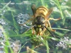 Les espèces européennes 13_08_11