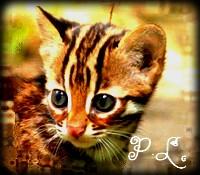 Petite Léopard