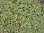 Les succulentes 399-26