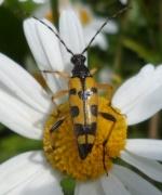 Le coléoptère