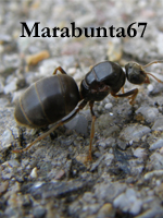 Marabunta67