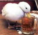 Crazy-Duck [ABM]