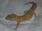 le mage du gecko