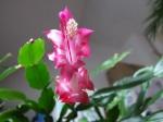 cactusfleuris
