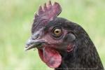 poulet$