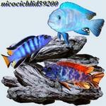 nicocichlid59200