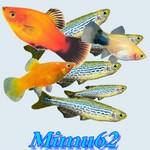 Mimu62