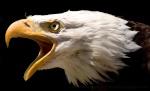 eagle 62