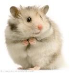 Night Hamster