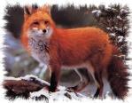 Fox Frost