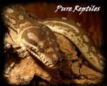Pure Reptiles