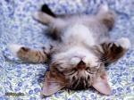 divlja maca