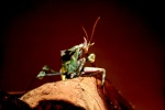 ~~ Devil Mantis ~~