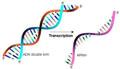 ARNmessager