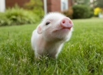 PigCell