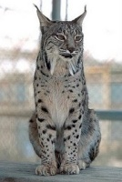 lince99