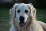 Education du golden retriever 278-13