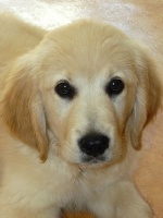 Le golden retriever : Le forum et le site du golden retriever. 499-75