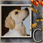 Le golden retriever : Le forum et le site du golden retriever. 734-98