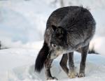 WolfaHowlz