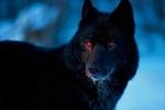 Lobo Determinado