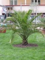 Palmiers Résistants au Froid 72-27