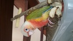Forum Bird And You sur les Becs crochus 352-80