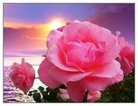 королева роз