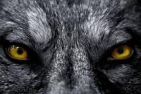 Etoile De Loup