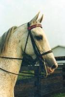 Showhorse