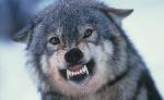 Wolfsmaster