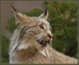 Lynx.mino